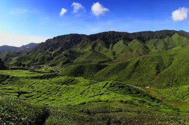 Bild von einer Teeplantage in den Cameron Highlands in Malaysia
