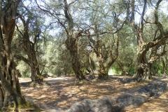 Oliven_Korfu